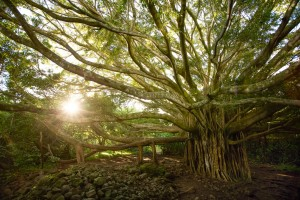 Banyan Tree (Credit: Lisa Bettany)